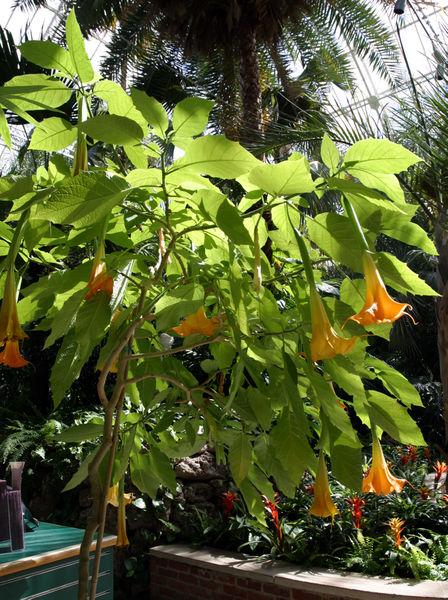 Floripondio (Brugmansia) 448px-Brugmansia