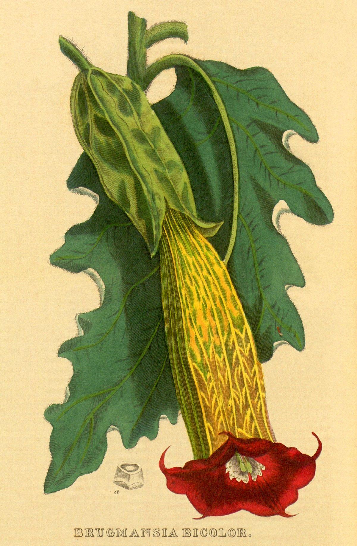 Brugmansia Sanguinea Wikipedia