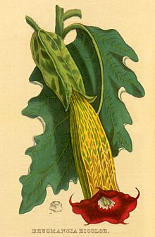 Antique painting of the red Brugmansia sanguinea