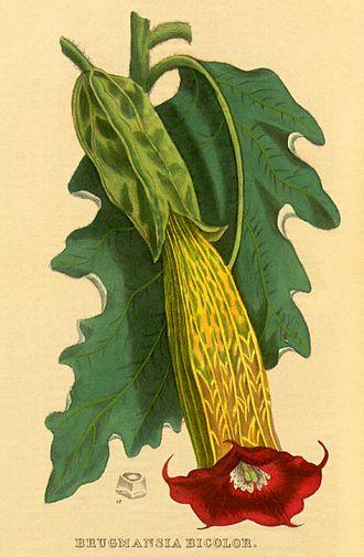 Brugmansia - Brugmansia sanguinea