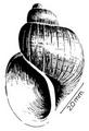 Bulinus tropicus shell 6.png
