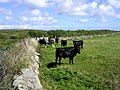 Bullocks below Caer Bran - geograph.org.uk - 40928.jpg