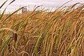 Bullrushes and oats (9887211924).jpg