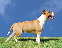 http://upload.wikimedia.org/wikipedia/commons/thumb/f/f5/Bullterrierrouge_femelle.jpg/250px-Bullterrierrouge_femelle.jpg