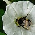 Bumblebee (468648414).jpg