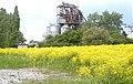 Bunias orientalis 050524 03.jpg