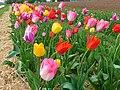 Bunte Tulpen auf dem Feld.JPG