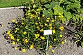 Buphthalmum salicifolium - Bergianska trädgården - Stockholm, Sweden - DSC00170.JPG