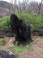 Burned tree near Laguna Grande (23034997919).jpg