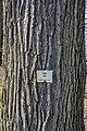 Burr oak - Lake View Cemetery - 2015-04-04 (22225831768).jpg