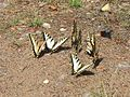 Butterflies on ground.jpg