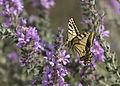 Butterfly Swallowtail - Papilio machaon 02.jpg