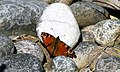 Butterfly at Lossiemouth - geograph.org.uk - 1345874.jpg