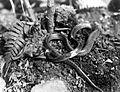 COLLECTIE TROPENMUSEUM Volwassen Lycodon subcinctus ongevaarlijk TMnr 10006443.jpg