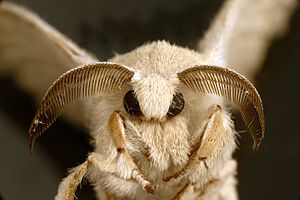 Bombyx mori - Adult silk moth