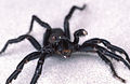 CSIRO ScienceImage 2445 A Male Funnel Web Spider.jpg