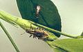 CSIRO ScienceImage 2755 Sitona weevil Sitona humeralis.jpg