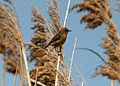 CSIRO ScienceImage 3940 Goldenheaded Cisticola.jpg