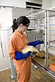 CSIRO ScienceImage 7963 CSIRO animal technician with ferrets at AAHL.jpg