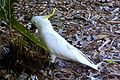 Cacatua galerita in New South Wales-8.jpg