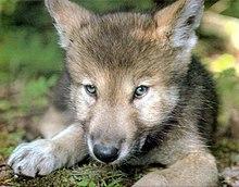 Cachorro de lobo mexicano 2.jpg