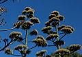 Cactus Blossom (3) (7800557962).jpg
