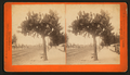 Cactus Tree, from Robert N. Dennis collection of stereoscopic views 2.png