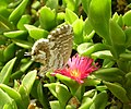 Cacyreus marshalli adult.jpg