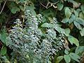 Cajanus lineatus (6673423341).jpg