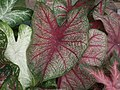 Caladium from Lalbagh garden 8737.JPG