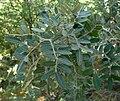 Calia arizonica 1.jpg