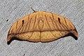 Callidrepana argenteola (Drepanidae- Drepaninae) (6564972225).jpg