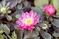 Callistephus chinensis Pot n Patio Scarlet 1zz.jpg