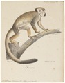 Callithrix sciureus - 1818-1842 - Print - Iconographia Zoologica - Special Collections University of Amsterdam - UBA01 IZ20200200.tif