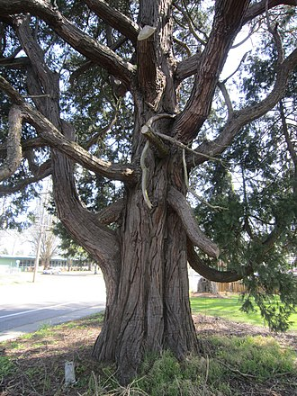Calocedrus decurrens - Image: Calocedrus decurrens Incense Cedar