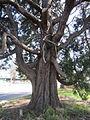 Calocedrus decurrens Incense Cedar.jpg