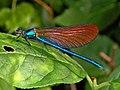 Calopterygidae - Calopteryx virgo - immature male.JPG