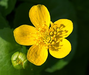 Caltha palustris - A flower and bud at the Ljubljana Botanical Garden in Slovenia
