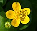 Caltha palustris (navadna kalužnica).jpg