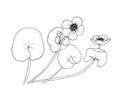 Caltha palustris ellywa.png