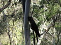 Calyptorhynchus funereus -Blue Mountains, New South Wales, Australia-8.jpg