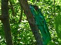 Caméléon vert (3494084296).jpg