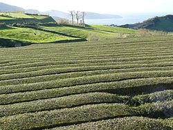 A long field of rows of tea plants