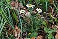 Camomille sauvage-Matricaria recutita-Pleney-20141015.jpg