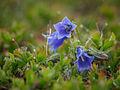 Campanula alpina-2.jpg