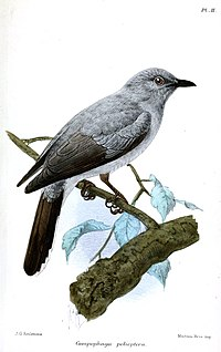 CampophagaPoliopteraKeulemans.jpg