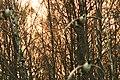 Canada goose, Branta canadensis, Kanadagås (50755256402).jpg