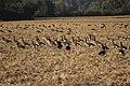Canada goose - Branta canadensis (44149333714).jpg