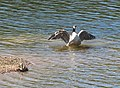 Canada goose in a flap - geograph.org.uk - 1248407.jpg