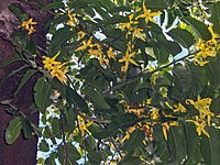 Cananga odorata flowers